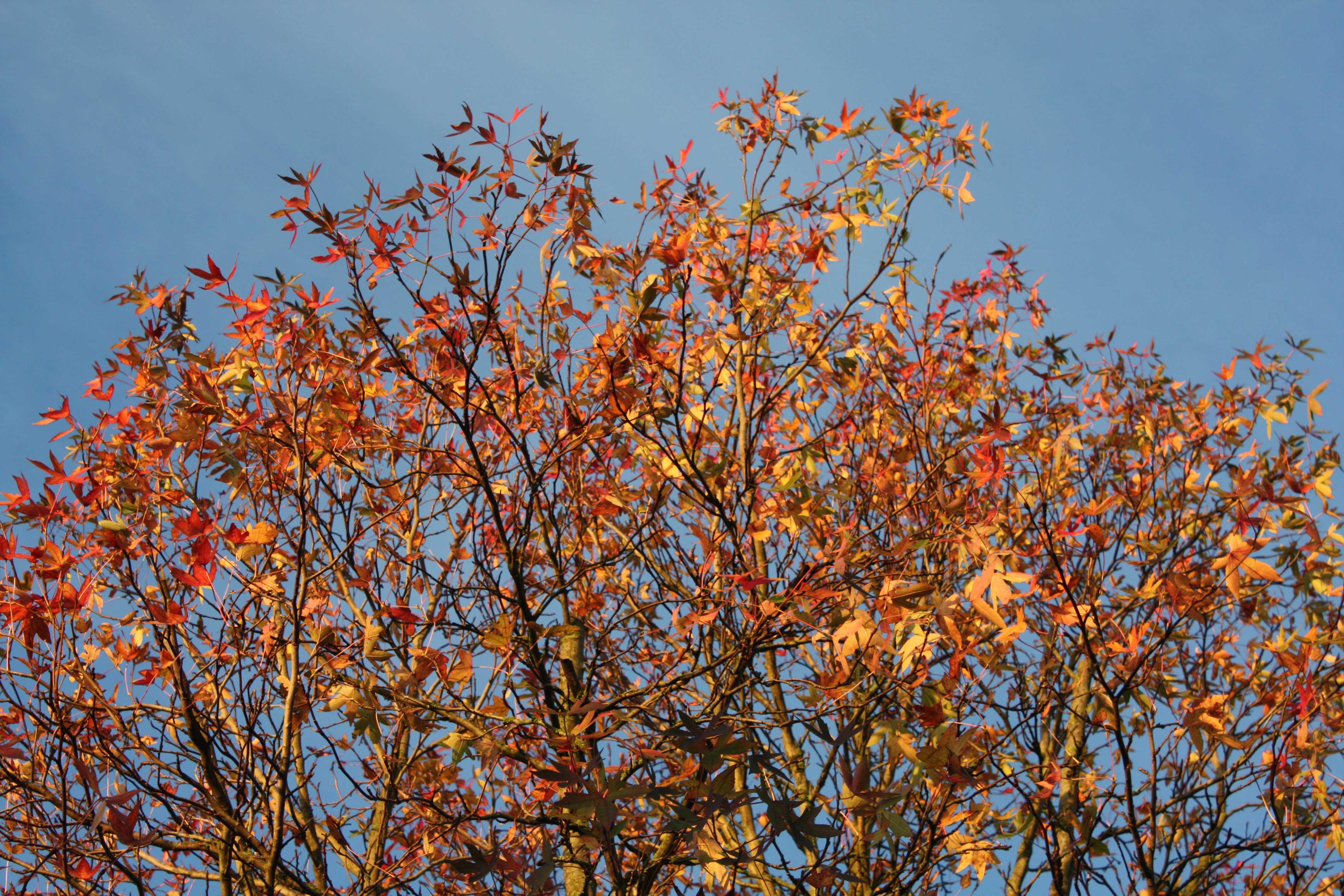 amberboom in volle glorie