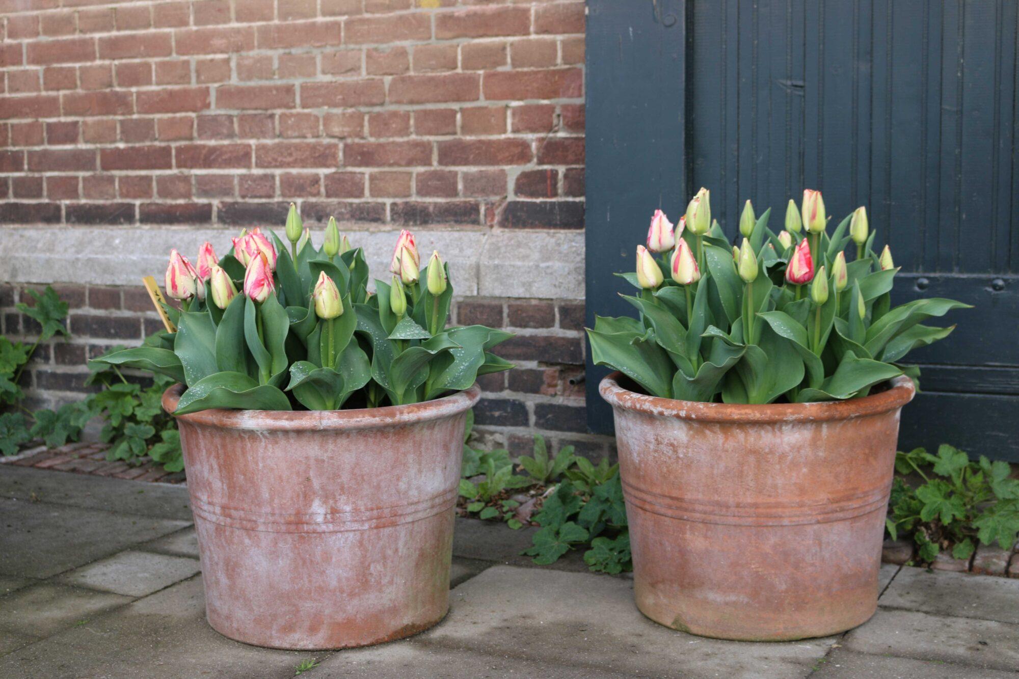 tulpen als plukbloem