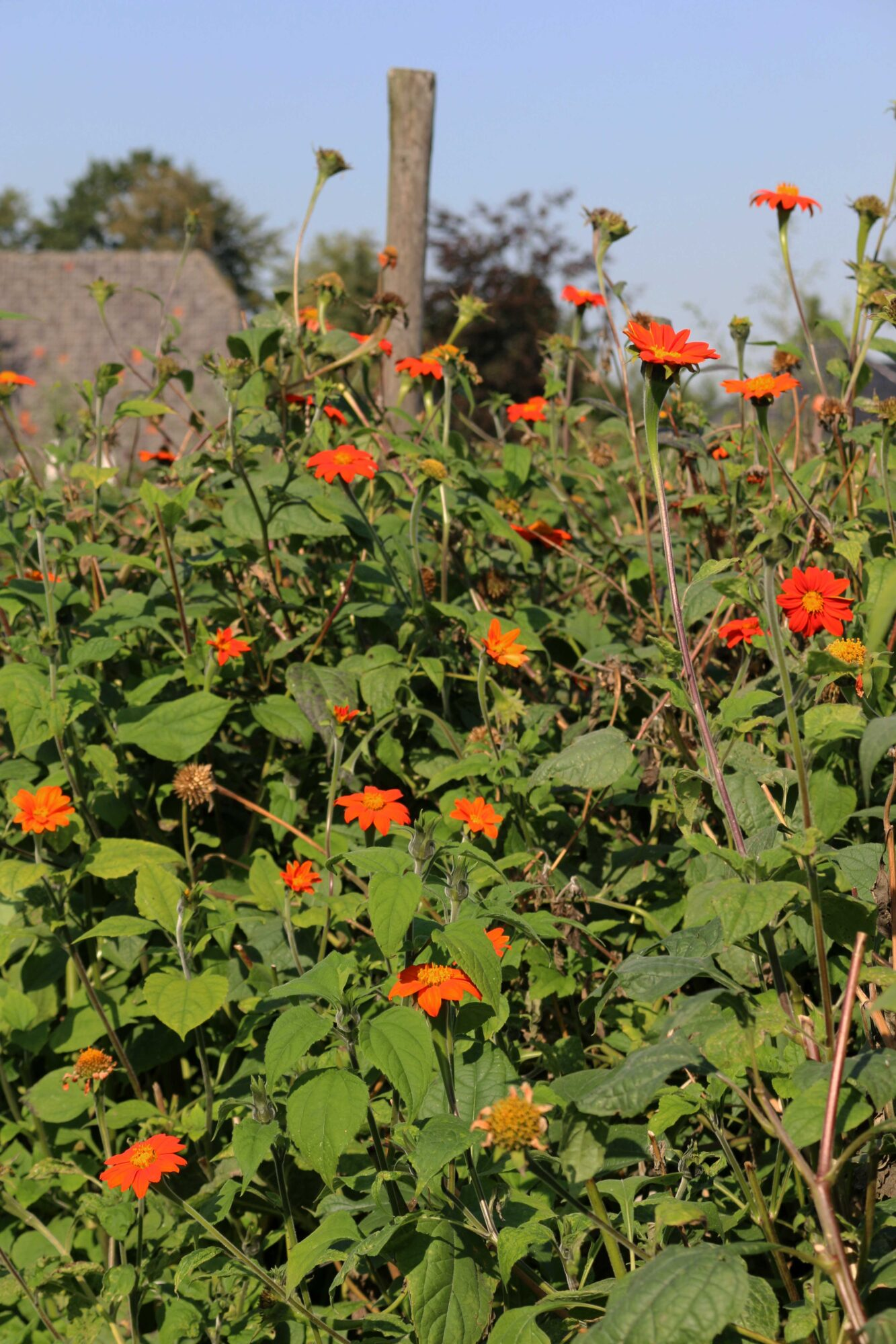 Tithonia rotundifolia 'Red Torch'